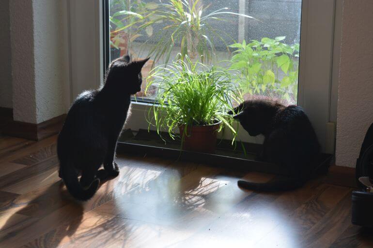 Katzen und Katzengras