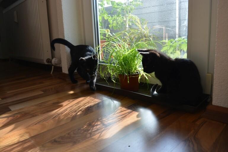 Kitten und Katzengras