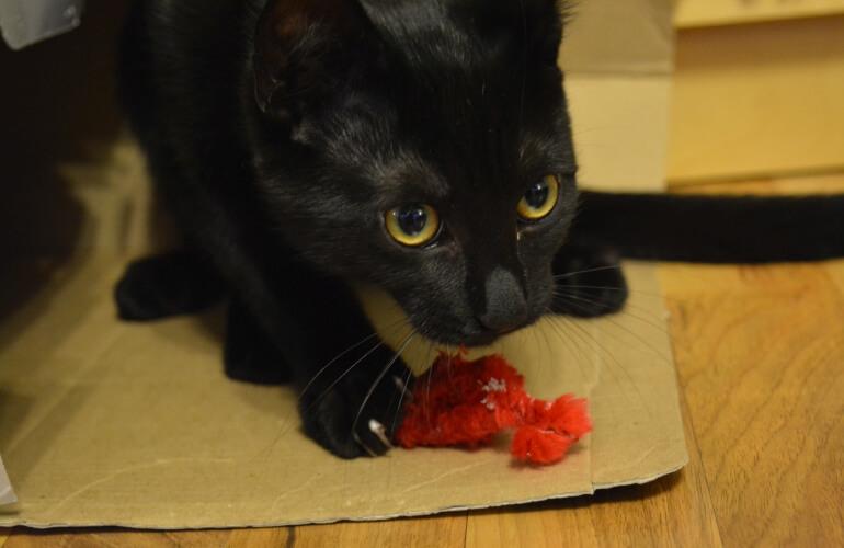 Katze mit Spielmaus