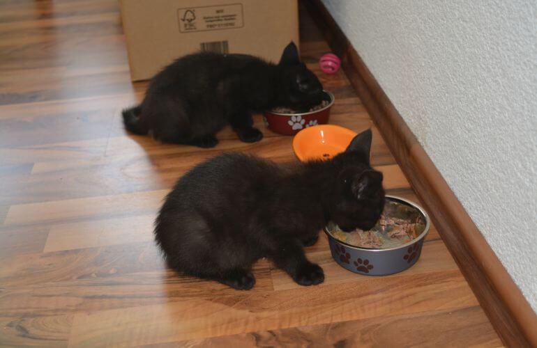 Zwei Katzenbabys fressen