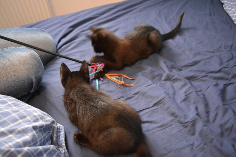 Katzen und Spielangel