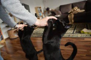 Katzenerziehung: Anleitung zum Clickern mit Katzen