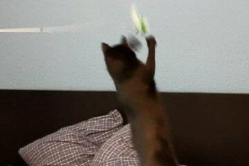 Katze springt nach Angelspielzeug