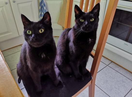 Zwei schwarze Katzen auf Stuhl