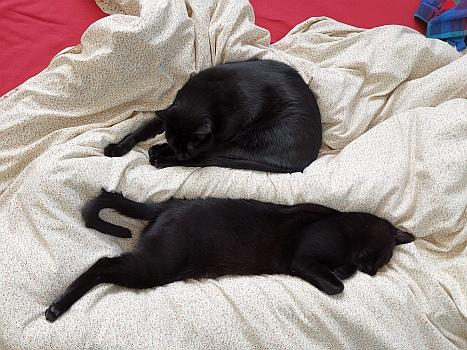 Zwei Kater schlafen auf Bett.